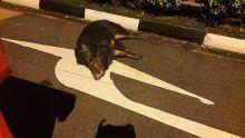 Polis tembak babi hutan mengamuk di Punggol
