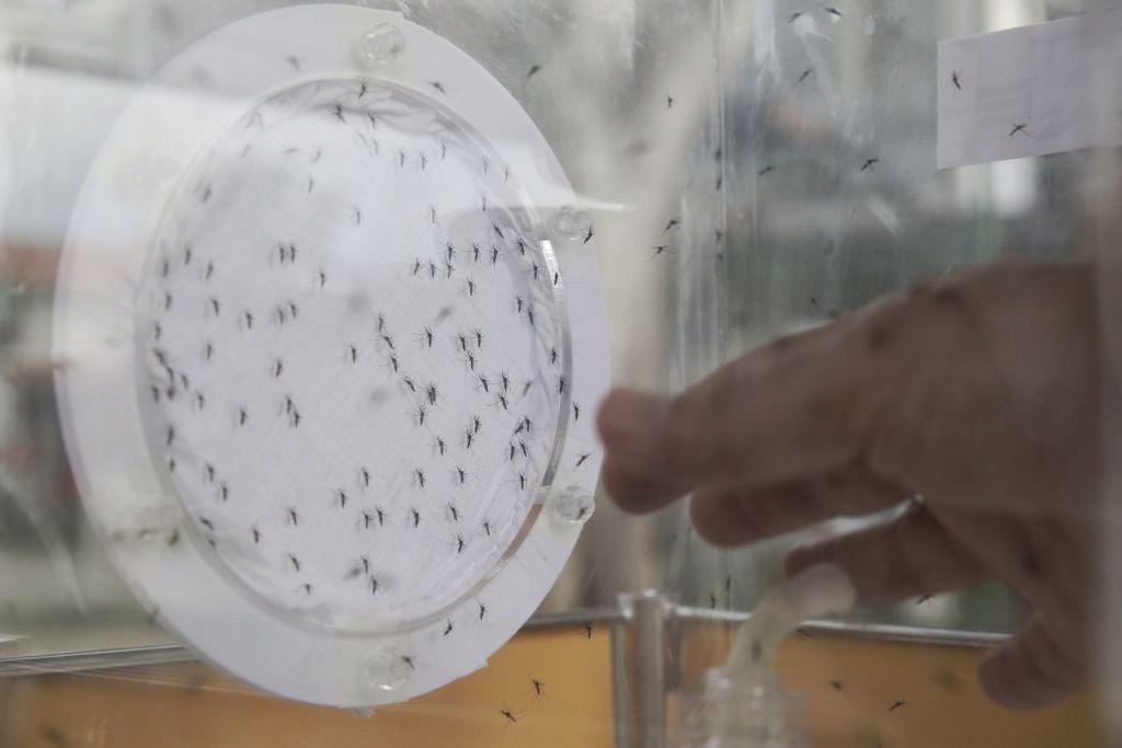 Nyamuk jantan  Aedes Aegypti yang membawa bakteria Wolbachia tidak menggigit. Minggu lalu, NEA membebaskan nyamuk ini di estet perumahan Braddell Heights sebagai sebahagian daripada projek percubaan kecil mengawal penularan wabak denggi. Apabila nyamuk ini mengawan dengan nyamuk betina, bakteria Wolbachia akan menyebabkan nyamuk betina menghasilkan telur yang tidak menetas.