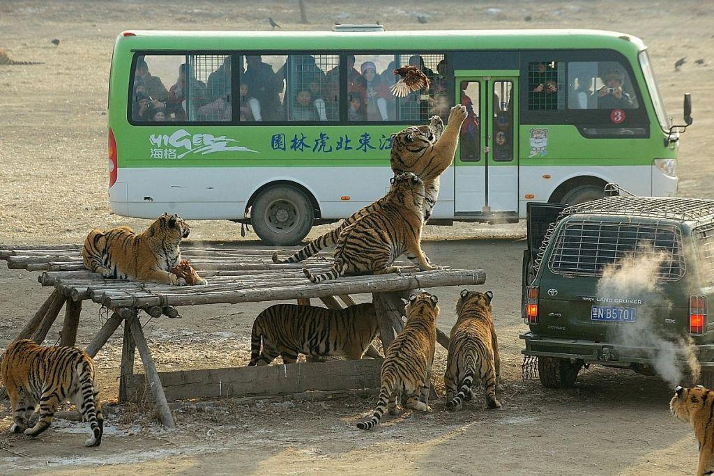 Peniaga desak China tarik balik larangan jual 'produk' harimau